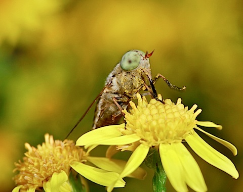 Green-eyed Fly