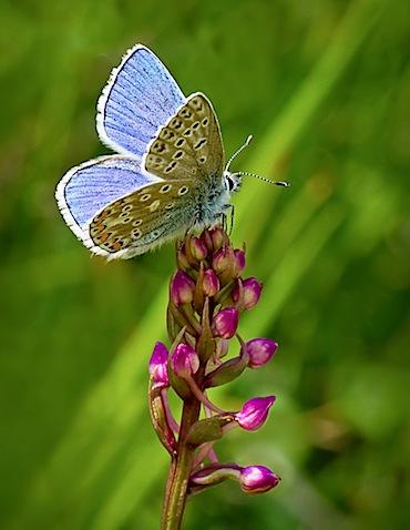 British Blue Butterflies