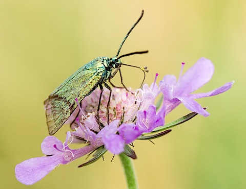 Forester Moth - Adscita statices