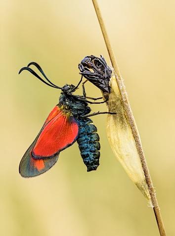 six-spot_burnet_moth_web2