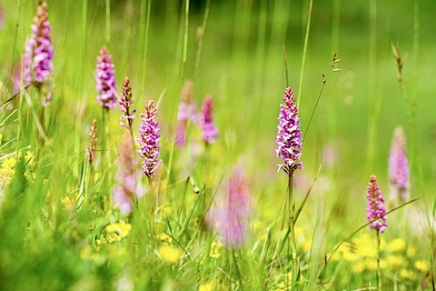Fragrant orchids at Castle Hill nature reserve