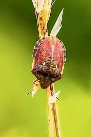 Tortoise Shield Bug