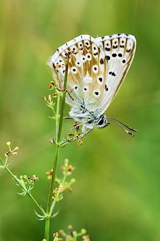 Chalkhill Blue butterfly, The Gallops 2013