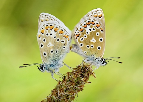 Scarce Common Blue butterflies